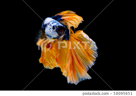Colorful with main color of dark blue, white and yellow betta fish 58095651