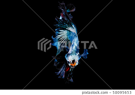 Colorful with main color of metal green and white betta fish, Siamese fighting fish 58095653