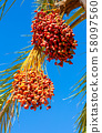Dates are growing on a palm tree. 58097560