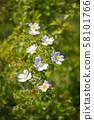 Beautiful blooming wild rose bush (dog rose, Rosa 58101766