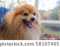 Portrait of the smiling Pomeranian German Spitz 58107405