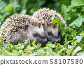 Pair of little hedgehogs outdoors 58107580