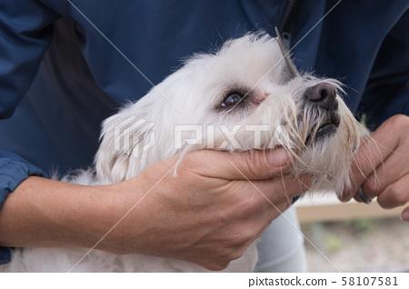 Combing hairof white Maltese dog 58107581