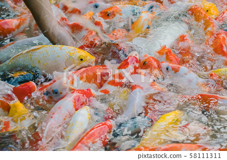 Woman feeding food to fancy carp fish by hand in the japanese pond. 58111311