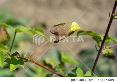 Levant cotton 58113809