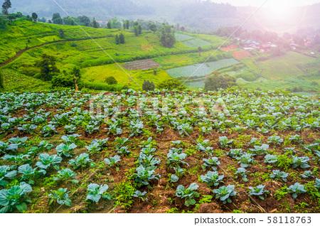 green cabbage in vegetable garden 58118763