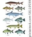 Vector collection of different kinds of freshwater fish 58119599