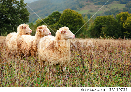 ram and two sheep on the meadow 58119731