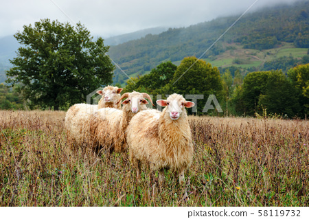 ram and two sheep on the meadow 58119732