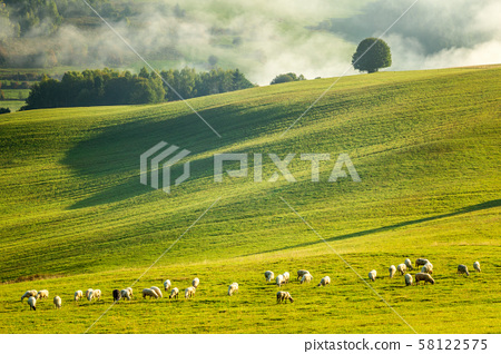 A herd of grazing sheep on a meadow. 58122575