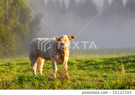 Young bull on a meadow. 58122583