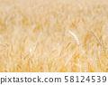 보리밭 (밀) 58124539