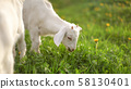 Young white goad kid grazing on sun lit spring 58130401