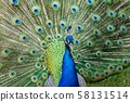 Peacock displaying feathers 58131514
