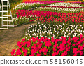 Landscape of Netherlands bouquet of tulips on the field 58156045
