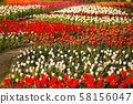 Landscape of Netherlands bouquet of tulips on the field 58156047