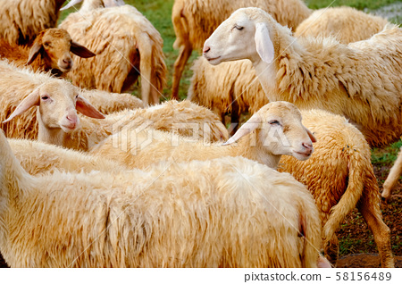 Landscape of sheeps in a grass hill with soft selective focus. Royalty high quality stock image of animal.  58156489