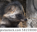 Raccoon dog resting in the shade of a tree 58159090