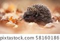 European hedgehog, erinaceus europaeus, sniffing in autumn forest 58160186