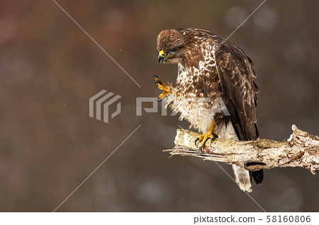 Common buzzard scratching and cleaning feathers while sitting on a bough 58160806