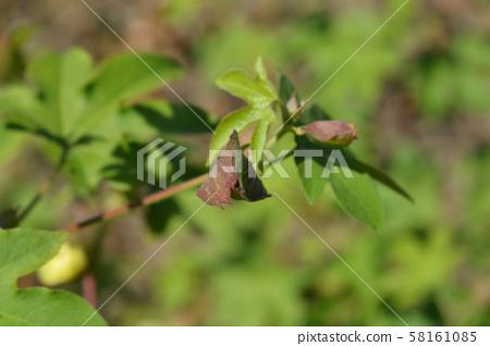 Levant cotton 58161085