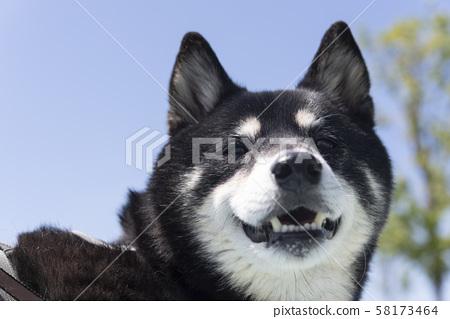微笑的黑色柴犬 58173464
