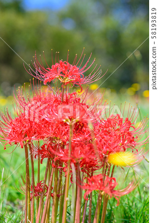 红蜘蛛百合 58193819