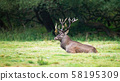 Territorial red deer stag lying down and resting in tranquil nature. 58195309