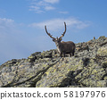 Close up male Reindeer cute looking to the camera. Animal in wild in natural environment on mountain 58197976