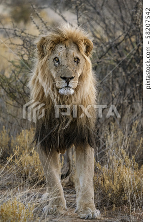 Adult male lion stands in short dry grass 58207542