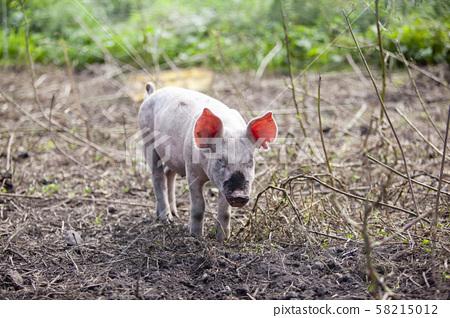 養豬 58215012