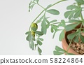 호랑 나비 終齢 1 일 (루) 58224864