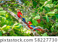 Scarlet macaws in Costa Rican forest 58227730