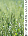 小麥的耳朵 58231832