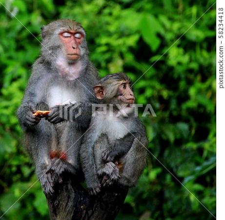 台灣彌猴, 猴子 58234418