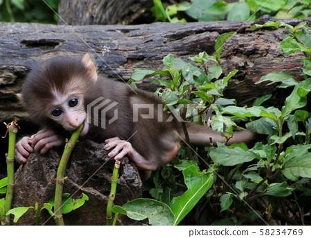 대만 원숭이, 원숭이 58234769
