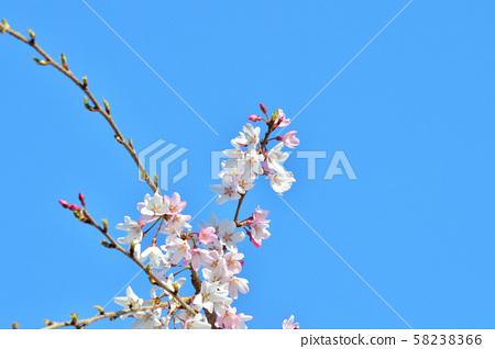 푸른 하늘을 배경으로 雨情 枝垂 것으로 추정된다 사쿠라 나무의 가지 꽃을 로우 앵글로 촬영 한 사진 58238366