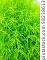 녹색 코키아 (빗자루 잔디) 58238613