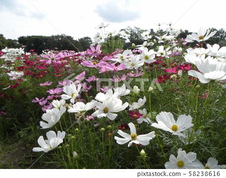 波斯菊開滿粉紅色和白色花朵,訴說秋天 58238616
