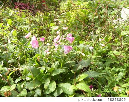 釣鐘草의 분홍색의 꽃 58238896