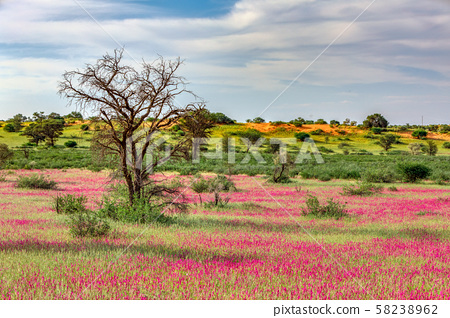 Flowering Kalahari desert South Africa wilderness 58238962