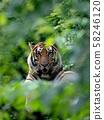 bengal tiger resting among green bush 58246120