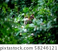 bengal tiger resting among green bush 58246121