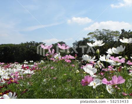 가을의 꽃 코스모스의 흰색과 분홍색의 꽃 58253433