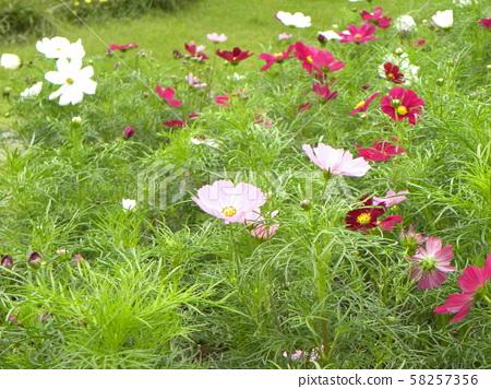 가을의 꽃 코스모스의 흰색과 붉은 꽃 58257356