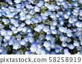 Closed up of Nemophila (Baby blue eyes) flower 58258919