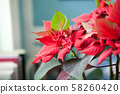 Close-up christmas poinsettia flower on a blurred background flat, selective focus 58260420