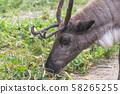 Portrait of reindeer closeup 58265255