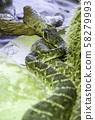 Wild rattlesnake 58279993