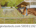 Horses eating rice straw at horse farm in evening 58301192